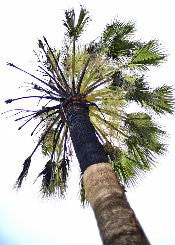 Scorch marks lead to the top of a palm tree after it was struck by lightning the night before at the General William Blanchard Golf Course at Davis-Monthan Air Force Base, Ariz., July 16, 2017. The A Shift fire crew from Station 2 of Davis-Monthan AFB's Fire Emergency Services extinguished the fire within 10 minutes of arriving on scene. (U.S. Air Force photo by Staff Sgt. Chris Drzazgowski)