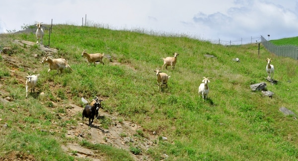 """Sixteen grazing goats, known as the """"Chew Crew,"""" are in charge of trimming the treacherous terrain above Buford Dam, a site run by the U.S. Army Corps of Engineers, Mobile District."""