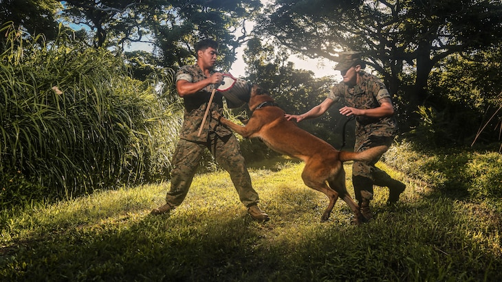 A Marine trains a military working dog outside in the late afternoon.