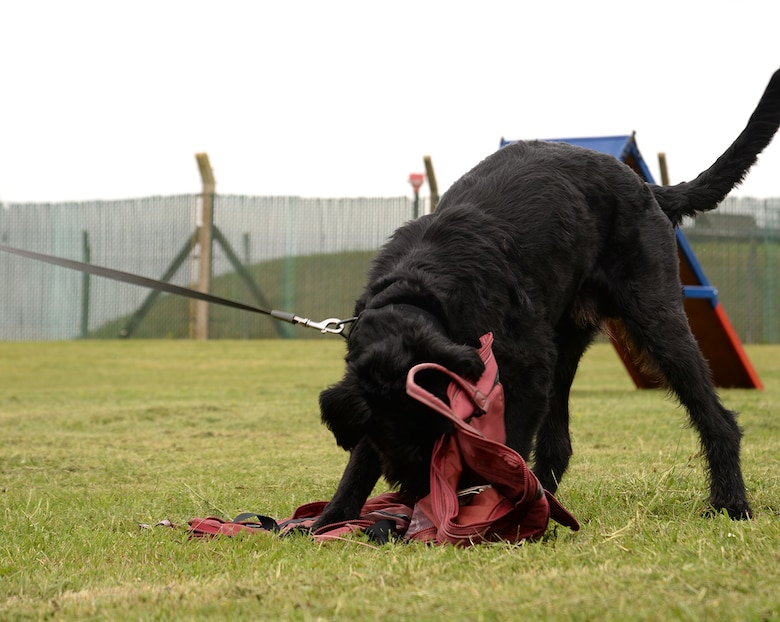 Military Working Dog Brock, 100th Security Forces Squadron, practices odor detection training July 11, 2017, on RAF Mildenhall, England. Brock is the only Giant Schnauzer military working dog in the Department of Defense. Military working dogs are considered one rank higher than their handler, so Brock and the other MWDs are the equivalent of technical sergeants. (U.S. Air Force photo by Karen Abeyasekere)