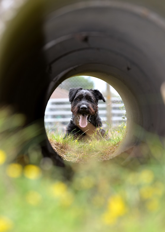 Military Working Dog Brock, 100th Security Forces Squadron, looks through a concrete pipe as he prepares to run through it during an obedience training session July 11, 2017, on RAF Mildenhall, England. Brock is the only Giant Schnauzer in the Department of Defense. (U.S. Air Force photo by Karen Abeyasekere)