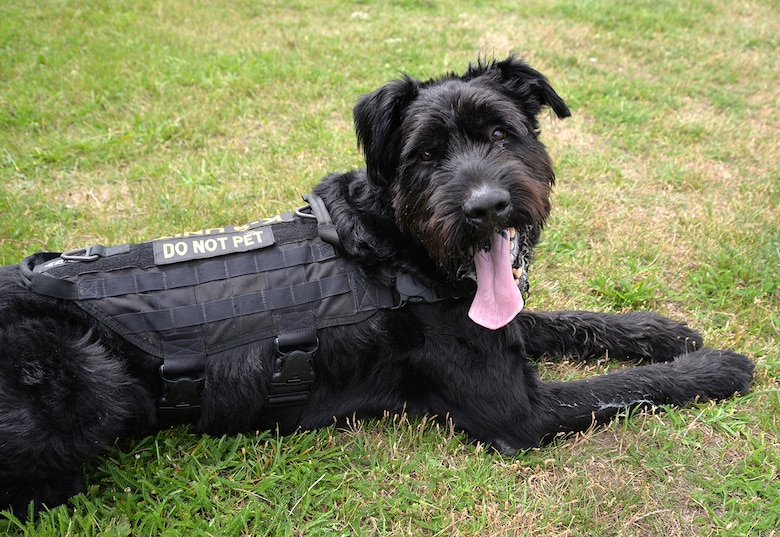 Military Working Dog Brock, 100th Security Forces Squadron, shows off his uniform after a training session July 11, 2017, on RAF Mildenhall, England. Brock is unique as the only Giant Schnauzer in the Department of Defense. Looking different to the regular German Shepherd and Belgian Malinois working dogs means people often think he is a pet. (U.S. Air Force photo by Karen Abeyasekere)