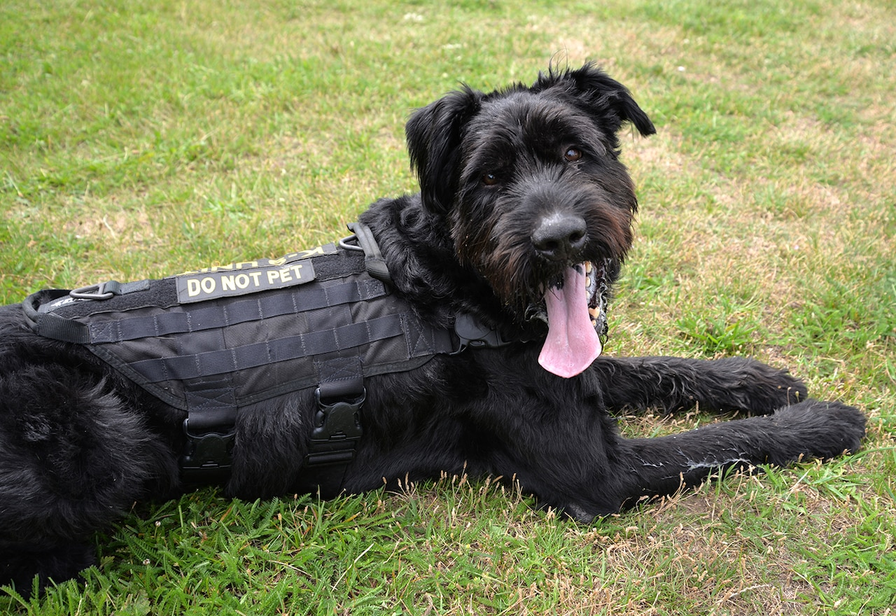 Military working dog Brock, a member of the Air Force's 100th Security Forces Squadron, shows off his uniform after a training session at Royal Air Force Mildenhall, England, July 11, 2017. Brock is unique as the only giant schnauzer in the Department of Defense. Looking different to the regular German shepherd and Belgian malinois working dogs means people often think he is a pet. Air Force photo by Karen Abeyasekere