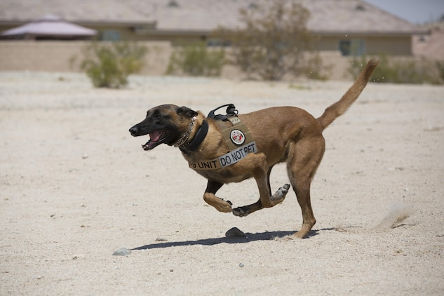 Xxyliana, military working dog, Provost Marshal's Office, sprints toward her target during a demonstration for the summer reading program at the Twentynine Palms Public Library, July 13, 2017. Xxyliana demonstrated her obedience to not only show what MWD's are capable of, but to foster a positive relationship with the community. (Official Marine Corps photo by Pfc. Margaret Gale)