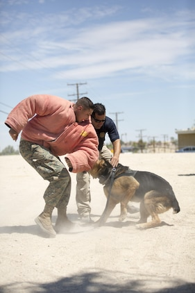 Officer NadeemSeirafi, military working dog handler, Provost Marshal's Office, gives orders to Cortez, MWD, PMO, while he bites Lance Cpl. Julian Norris, MWD handler, during a demonstration for the summer reading program at the Twentynine Palms Public Library, July 13, 2017. Cortez demonstrated his strength and discipline for the reading program to not only show what their MWD's are capable of, but to foster a positive relationship with the community. (Official Marine Corps photo by Pfc. Margaret Gale)