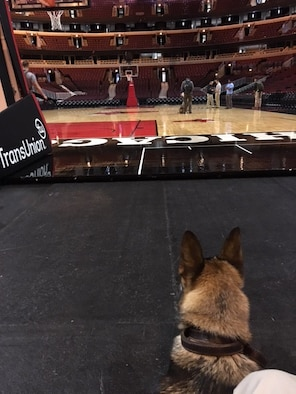 CHICAGO – Military Working Dog Blecki looks out at the court at Nationwide Arena prior to a mission supporting the Secret Service in 2016. Blecki was stationed at Wright-Patterson Air Force Base, assigned to MWD handler, Staff Sgt. Seth Dale. Blecki has since retired and was adopted by Dale. (U.S. Air Force photo/Staff Sgt. Seth Dale)