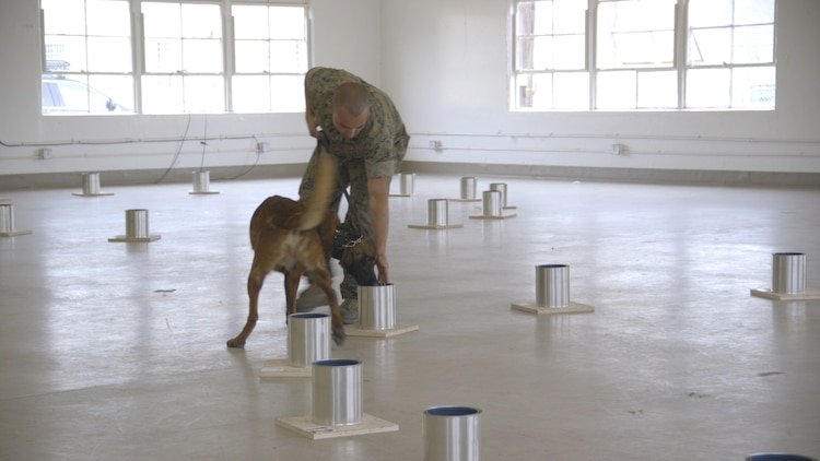 U.S. Marine Corps Sergeant Shawn Edens of 1st Law Enforcement Battalion, 1st Marine Expeditionary Force and his canine, Xantos, navigate a National Odor Recognition Testing (NORT) Course on Camp Pendleton, Calif., June 6, 2017. NORT is a voluntary test used to evaluate a canine team's ability to detect 10 fundamental explosive odors. The training also allows handlers to exchange information with colleagues and ask questions of Alcohol, Tobacco, Firearms and Explosives canine and explosives subject matter experts. (U.S. Marine Corps Video by Lance Cpl. Desiree D King)