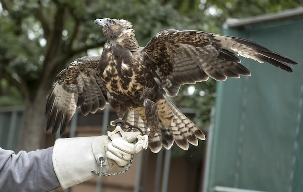 Whistler, a Swainson's hawk, displays the intricate markings on the underside of its wings and tail, June 8 2017, California Raptor Center, University of California, Davis. The Swainson's hawk is a regular visitor at Travis Air Force Base, Calif., often nesting on base. (U.S. Air Force photo/ Heide Couch)