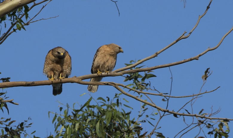 A pair of red-shoulder hawks perch on a branch of a eucalyptus tree, Apr. 21, 2017, Travis Air Force Base, Calif. These hawks are the noisiest of the buteos, especially during spring courtship, constantly calling to their mates.(U.S. Air Force photo/ Heide Couch)