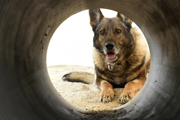 Egon, 407th Expeditionary Security Forces Squadron military working dog, stops after being commanded during an obsticle course training exercise May 23, 2017, at the 407th Air Expeditionary Group in Southwest Asia. Egon's handler is Senior Airman Carlton Isaacson, they have been partners for approximately a year and a half. (U.S. Air Force photo by Senior Airman Ramon A. Adelan)
