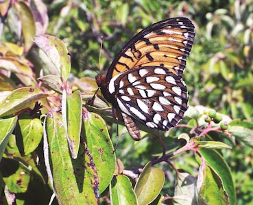 Fort Riley contains approximately 67,000 acres of native tallgrass prairie. This native Kansas landscape offers an ideal habitat for regal fritillary butterflies.
