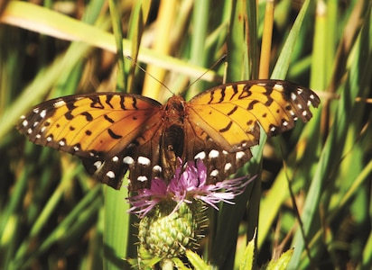 Female regal fritillary nectaring on a thistle, a flowering plant, found on Fort Riley. The courtesy photo was taken by Kelsey McCullough, fish and wildlife biologist technician of the Directorate of Public Works Conservation branch, as part of her research project at Fort Riley.