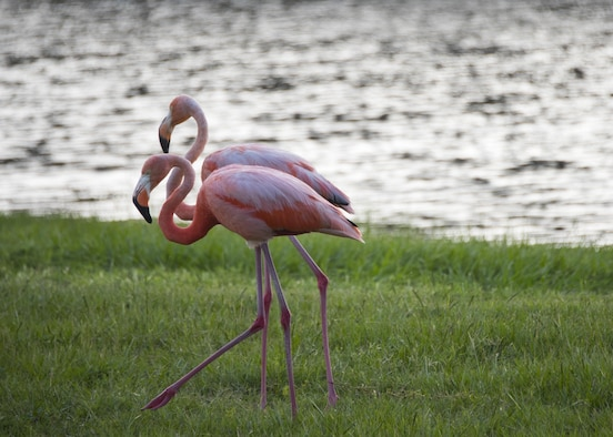 A pair of flamingos walk the bank of Weekly Pond June 23 at Eglin Air Force Base, Fla. According to a Jackson Guard biologist the flamingos may be here because they were caught in a storm or seeking shelter from a weather front. (U.S. Air Force photo/Ilka Cole)