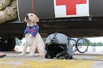 A guide dog in training sits next to a pilot's helmet at Hunter Army Airfield, Ga., June 26, 2017. The dog is in its first phase of training, and is learning to socialize and become confident in different environments. Army photo by Staff Sgt. Kellen Stuart