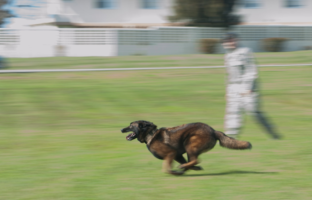 A U.S. Air Force military working dog, 18th Security Forces Squadron, chases a suspect during a demonstration of the six phases of aggression on Mar. 16, 2017, at Marek Park on Kadena Air Base, Japan. Any time a MWD handler gets assigned a new canine, they get a few weeks to build rapport with them. Going on walks, playing fetch, and playing with the dogs helps build a strong relationship between the two. (U.S. Air Force Photo by Senior Airman Nick Emerick)