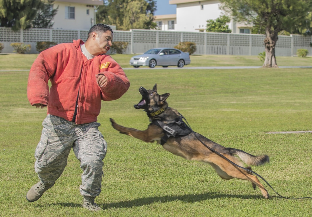 U.S. Air Force military working dog Biba, 18th Security Forces Squadron, goes to bite Staff Sgt. Mario Rey, MWD handler with 18th SFS during a demonstration of the six phases of aggression on Mar. 16, 2017, at Marek Park on Kadena Air Base, Japan. Any time a MWD handler gets assigned a new canine, they get a few weeks to build rapport with them. Going on walks, playing fetch, and playing with the dogs helps build a strong relationship between the two. (U.S. Air Force Photo by Senior Airman Nick Emerick)