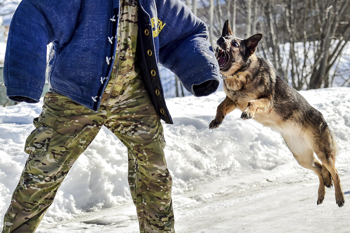 A German shepherd lunges toward an arm during training in the snow.