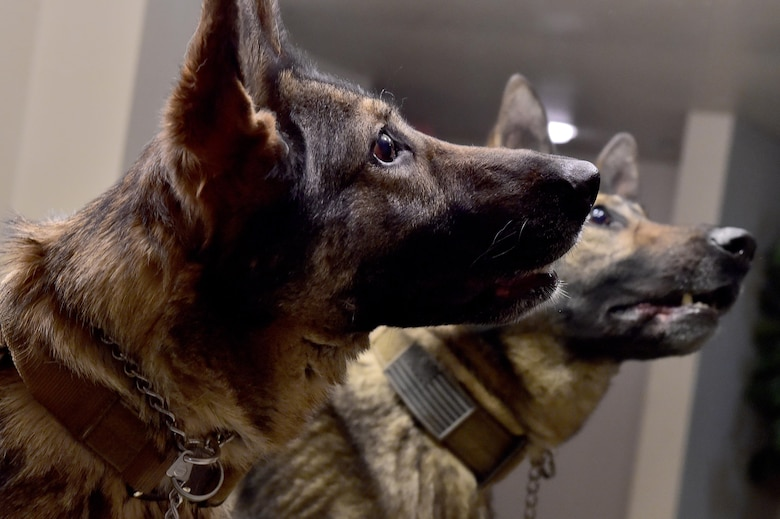 The Nose Goes Military Working Dogs And Their Handlers Train To