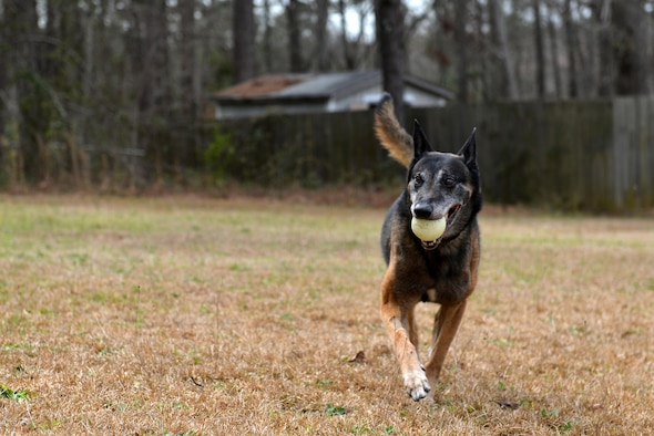 Jony, a retired military working dog, plays outside his new home in Sumter, S.C., March 22, 2017. After a nine-year career as an explosives-certified patrol dog, Jony's first handler adopted him. (U.S. Air Force photo by Airman 1st Class Destinee Sweeney)