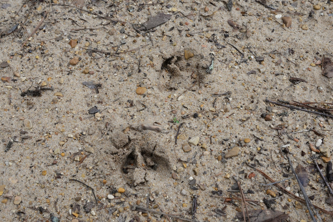 Deer tracks dot the Willow Oak Trail March 29, 2017, on Columbus Air Force Base, Mississippi. The trails have an abundance of wildlife for visitors to see.
