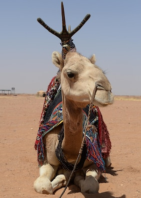 A camel rests in between rides at a bazaar on Nigerien Air Base 201, Niger, April 16, 2017. The bazaar featured unique gifts that Airmen could purchase, as well as the opportunity to ride camels in Africa. (U.S. Air Force photo by Senior Airman Jimmie D. Pike)