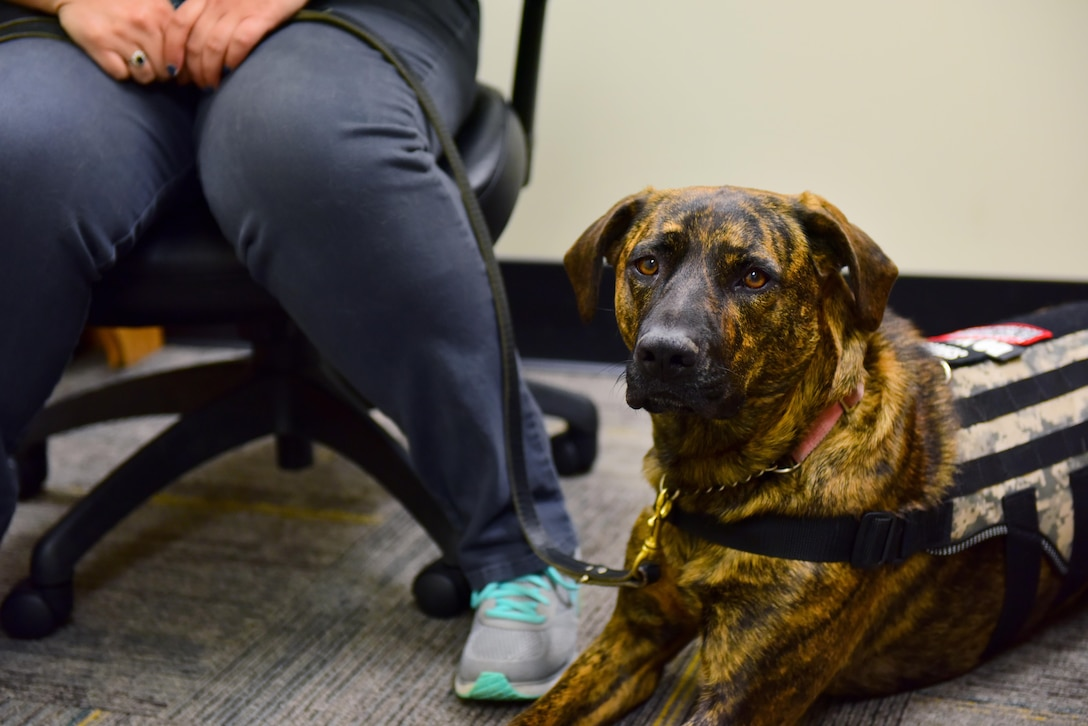 Gabbie, a service dog, keeps a watchful eye while her owner, Stephanie Shipwash, a graduate assistant, works at the University of Central Missouri in Warrensburg, Mo., April 20, 2017. Shipwash was medically retired from the Air Force in February for post-traumatic stress disorder and matched with Gabbie a month later to help alleviate the side-effects of her conditions. (U.S. Air Force photo by Airman 1st Class Jazmin Smith)