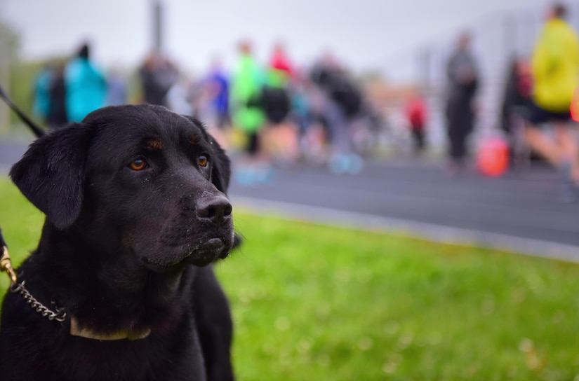 Apollo, a therapy dog in training, watches members of Team Whiteman as they approach the finish line during the annual Race for Respect 5k at Whiteman Air Force Base, Mo., April 28, 2017. Apollo is slated to begin working at the Sexual Assault Prevention and Response office on base at the end of May. As a therapy dog, Apollo will be able to provide emotional support to any visitors who come into the office and wish to see him. (U.S. Air Force photo by Airman 1st Class Jazmin Smith)