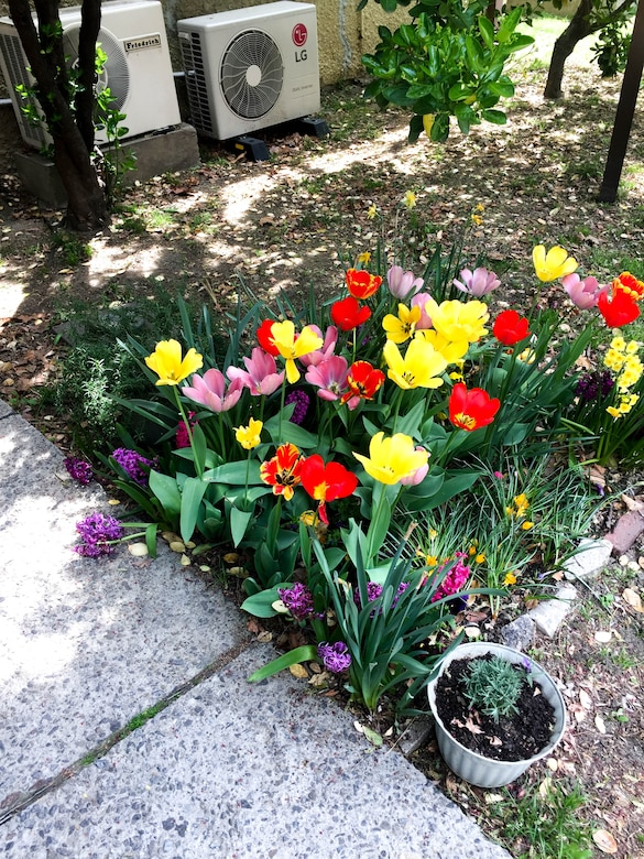 Pictured are tulips planted by Robert Sundberg located outside of the Far East District Office of Counsel.