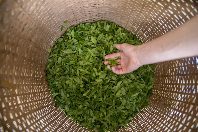 A basket is filled with green tea leaves during a Cultural Adaption Program tea harvesting event in Iwakuni City, May 2, 2017. The Cultural Adaptation Program gave Marine Corps Air Station Iwakuni residents the opportunity to experience the Japanese culture alongside elementary and high school students, nursing home residents and other Japanese locals. (U.S. Marine Corps photo by Lance Cpl. Carlos Jimenez)