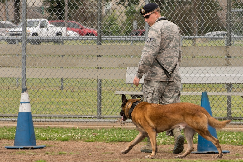 """U.S. Air Force Staff Sgt. Caleb McDaniel, a 19th Security Forces Squadron military working dog handler, and his partner Britt, maneuver in and out of cones to show how they get around barriers during the obedience portion of the """"Military Working Dog (MWD) Competition"""" at Little Rock Air Force Base, Ark., May 17, 2017. The competition, which included numerous law enforcement agencies, was held in honor of National Police Week. (U.S. Air Force photo by Master Sgt. Jeff Walston/Released)"""