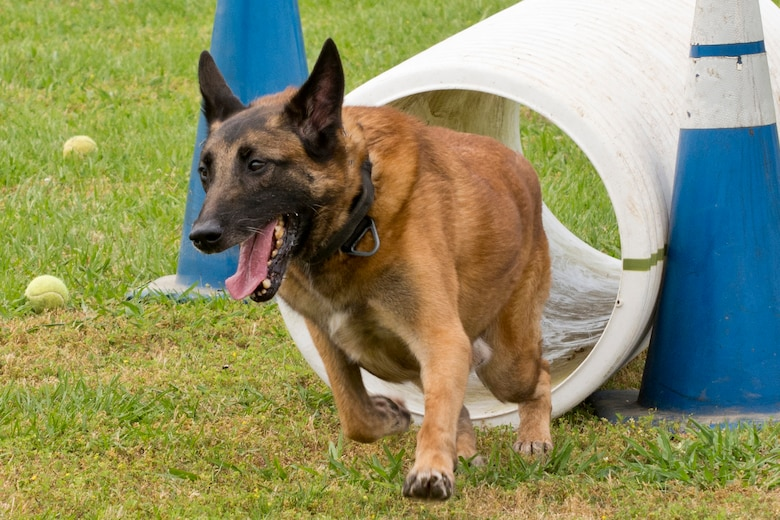 """Britt, a U.S. Air Force military working dog assigned to the 19th Security Forces Squadron, exits a plastic tube during the """"Military Working Dog (MWD) Competition"""" at Little Rock Air Force Base, Ark., May 17, 2017. This portion of the event simulates the dog's ability to go into a culvert after a suspect. Britt's handler is U.S. Air Force Staff Sgt. Caleb McDaniel, 19th SFS. (U.S. Air Force photo by Master Sgt. Jeff Walston/Released)"""