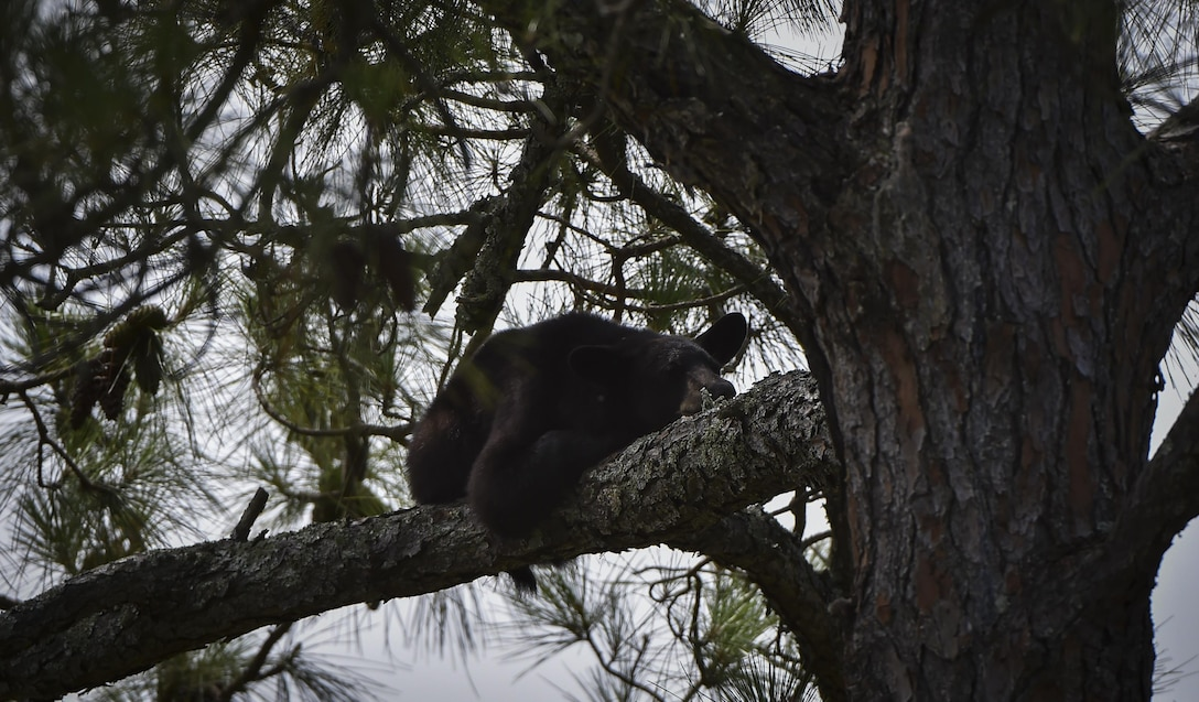 A black bear lays in a tree at the Soundside playground on Hurlburt Field, Fla., May 22, 2017. Florida Fish and Wildlife Conservation personnel have set out traps and encourage residents to clean and store their grills and trash cans in a secured compound such as a shed or covered enclosure. (U.S. Air Force photo by Airman 1st Class Joseph Pick)