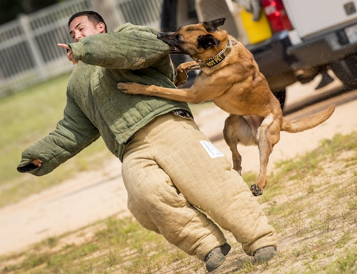 Arko, a military working dog assigned to the  96th Security Forces Squadron, captures a simulated suspect during a demonstration for Eglin Elementary School kids at Eglin Air Force Base, Fla., May 18, 2017. The event was in celebration of National Police Week. More than 100 children watched the demonstration. (U.S. Air Force photo/Samuel King Jr.)