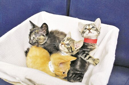 "Clockwise from left, Mimosa, Martini, Margarita and Swizzler play in a basket at the Fort Riley Stray Facility office 224 Custer Ave. These kittens, dubbed the ""Cocktail Litter,"" are 6 weeks old."