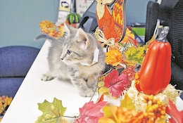 """Wasabi prances around the fall decor of the reception area at the Fort Riley Stray Facility. The 9-week-old is part of the """"Snack Litter"""" where all its siblings are named after snacks."""