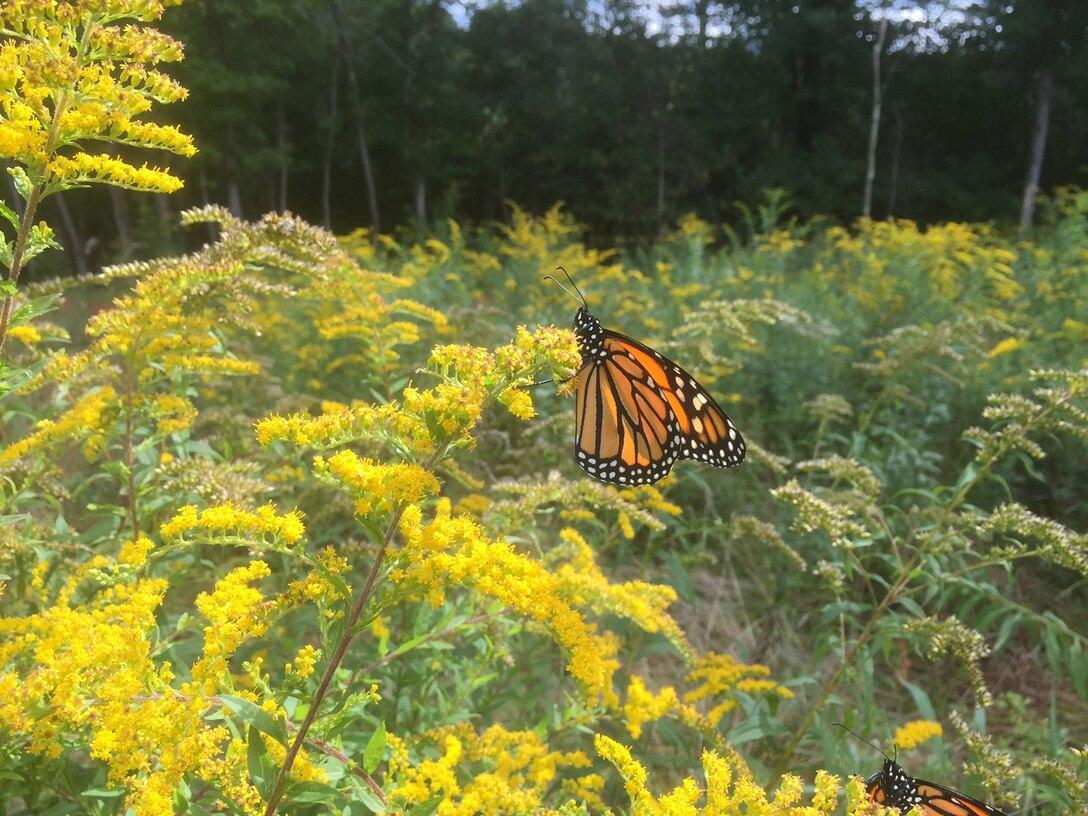 Male butterflies on vegetation.