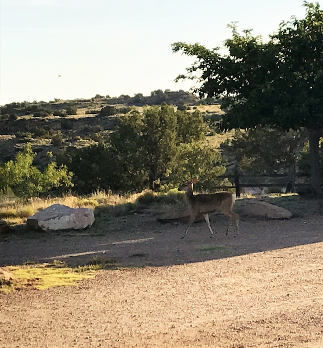 CONCHAS LAKE, N.M. – A deer walks near a campground at the lake, July 15, 2017. Photo by Carolyn Abreu. This was a 2017 Photo Drive entry.