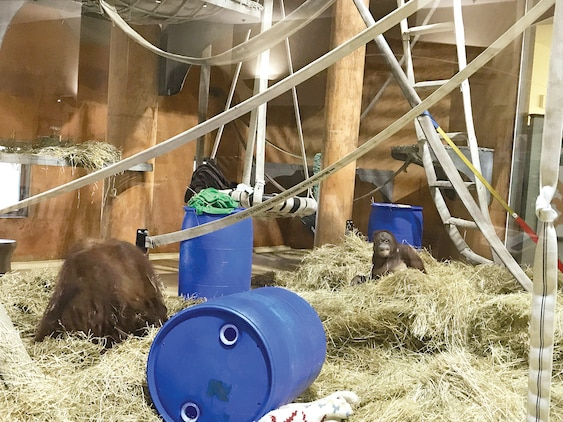 Orangutans enjoy their new, renovated habitat, which now includes much more fire hose that the animals can romp and play on.