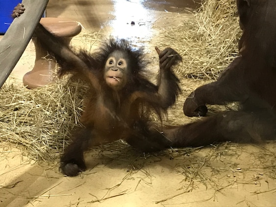 Redd, the one-year-old orangutan, recently had his habitat updated with the help of a donation of fire hoses given by  Quantico Fire and Resucue.  Zoo personnel created more places for Redd to swing and play on, which zoo personnel said will help him further develop his coordination.