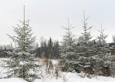 Trees within the boundaries of the Christmas Tree Harvest 2017 program stand waiting at Joint Base Elmendorf-Richardson, Alaska, Nov. 16, 2017. Individuals wanting a live tree for the holidays have the opportunity to harvest one for free, and also support the forestry program.
