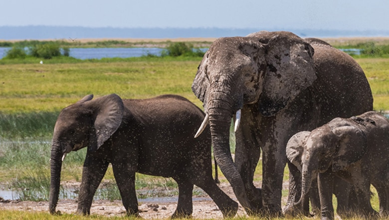 An aerial census released June 21 reports the population of elephants in Kenya's Tsavo ecosystem increased 15.1 percent between 2014 and 2017 — evidence that programs like tenBoma are working. (Barbara Hollweg)