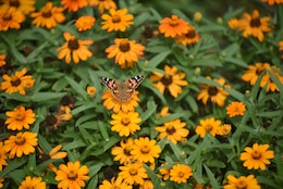 A butterfly visits the pollinator garden at Cheatham Lake in Ashland City, Tenn., Sept. 30, 2017.  Volunteer gardeners are needed to join the team responsible for developing, maintaining and improving the garden, working toward certification as a Monarch Waystation at the U.S. Army Corps of Engineers Nashville District project. (USACE photo by Lee Roberts)