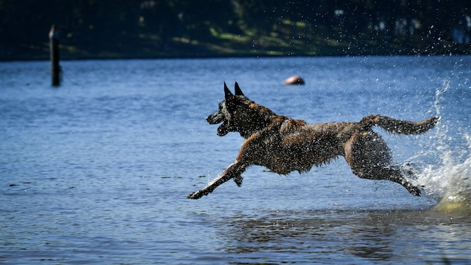 Vvelma, 2nd Security Forces Squadron military working dog, runs into the Black Bayou Lake as part of a water aggression training session at Benton, La., Sept. 6, 2017. The training sessions in water provided MWDs with the skills to be more effective within their area of responsibility. Barksdale's geographical location includes numerous large bodies of water