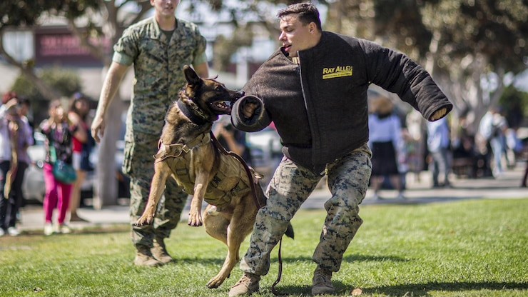 A Marine commands his military working dog to release his bite gear.