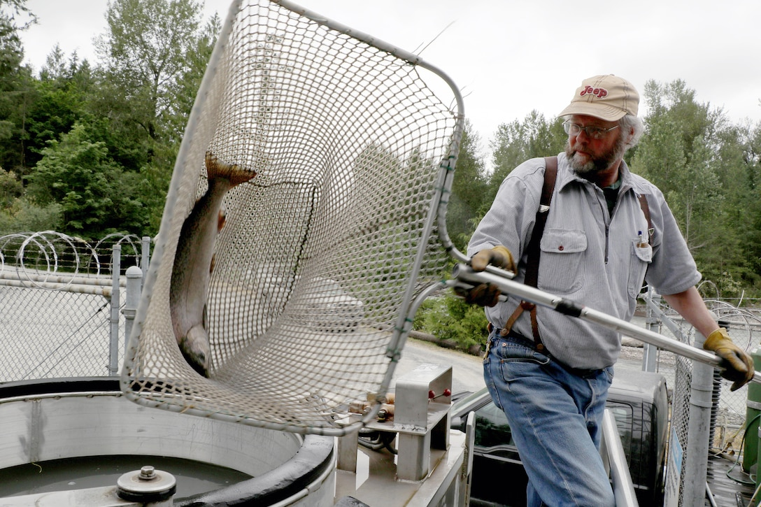 Mud Mountain Dam's Dan Robinson loads a Chinook salmon into a U.S. Army Corps of Engineers truck for transport upstream of the dam.