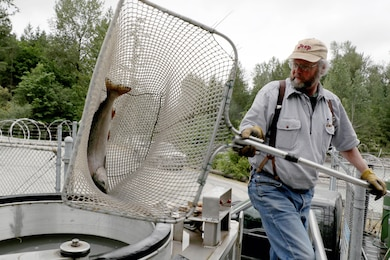 The White River's 2016 Chinook salmon run numbers were the best seen in 71 years until 2017's run.  Runs consistently averaged 1,565 in the early 2000s, but 2017's count as of mid-October was 15,565, a 67 percent increase from 2016's 9,347 total.
