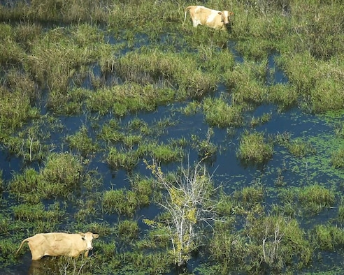 Cows in flood water