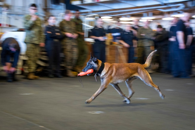 A military working dog demonstrates controlled obedience.