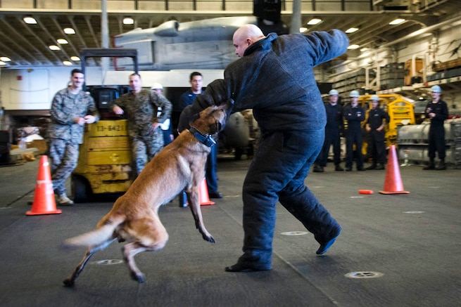 A military working dog performs a controlled aggression technique.