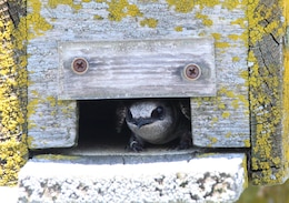 A purple martin peeks its head out of a next box at Fern Ridge Dam and Reservoir, west of Eugene, Oregon. Normally, the birds find cavities in dead trees, or snags to next in but nest boxes are an acceptable alternative.